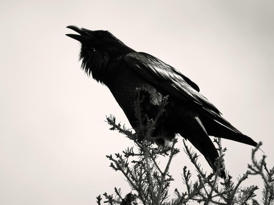 http://fc08.deviantart.net/fs71/i/2010/170/e/1/The_Raven__s_Call_by_JeweledFaith.jpg