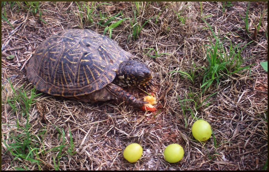 Turtle Eating The Cherry by watermermaid on deviantART