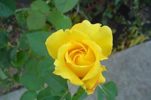 Yellow Rose by AtomicNinja