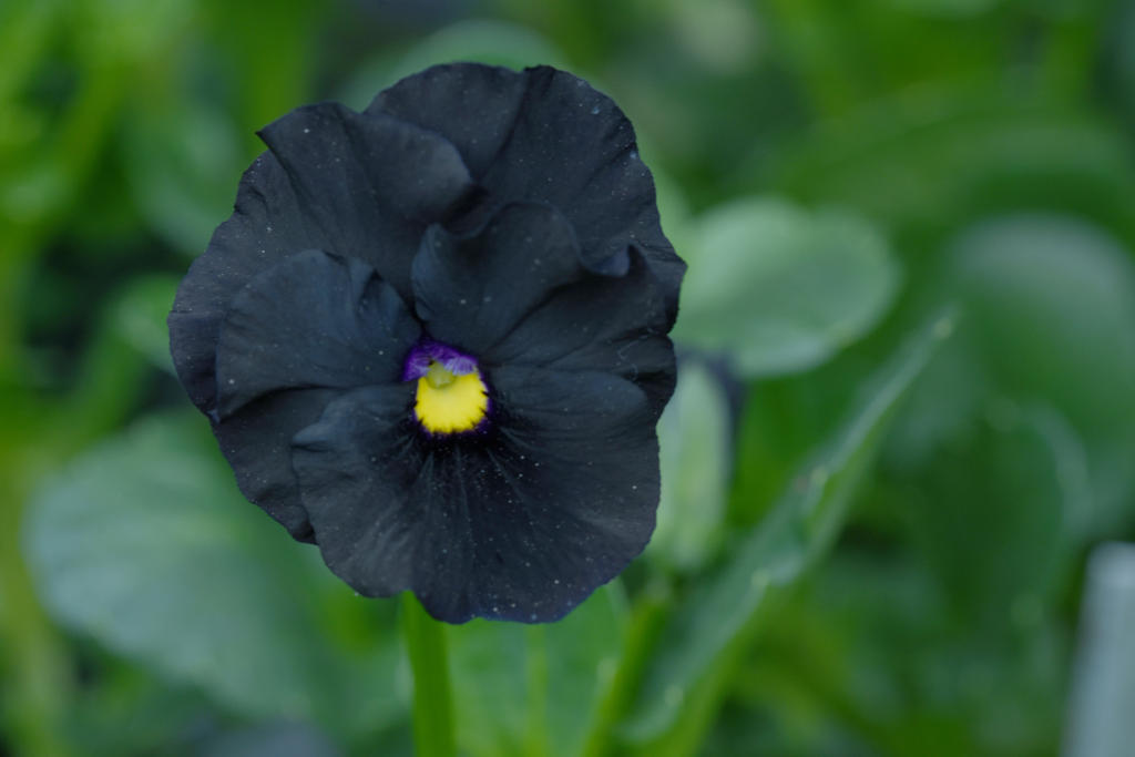 The Black Out, Pansy 2 by Miss-Tbones