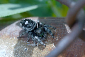 Mr Fuzzy On the Fence, Jumping Spider 10 by Miss-Tbones