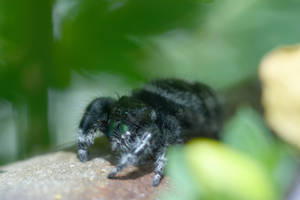 Mr. Fuzzy On Fence,Jumping Spider Contemplating2 by Miss-Tbones