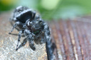 Mr Fuzzy On the Fence, Jumping Spider Eyes Averted by Miss-Tbones