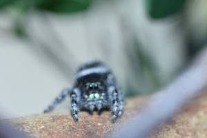 Mr Fuzzy On the Fence, Jumping Spider Stare Down 3 by Miss-Tbones