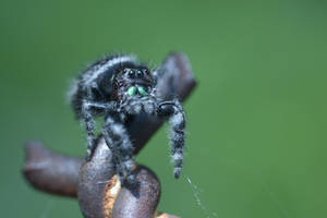 Mr Fuzzy On the Fence, Jumping Spider Stare Down 5 by Miss-Tbones