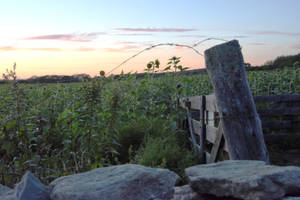 Sunflower Field Behind Barbed Wire/Stone,Sunset4