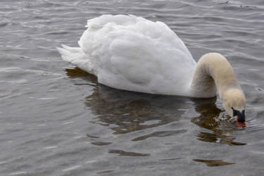 Swan In the Pond by Miss-Tbones