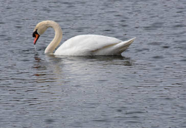 Swan In the Pond 4 by Miss-Tbones