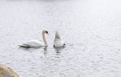 Swans In the Pond, Dip and Nibble by Miss-Tbones