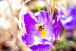 Bee Hovering Over Krokus Center, 2020 Spring