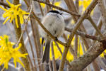 Chickadee In the Forsythia, Puffed Out Perched 2