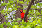 Male Cardinal In Leafy Tree Branches 3