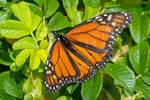 Butterfly Resting On Green Leaf Bush
