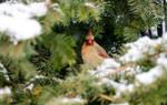 Hide and Seek In the Snowy Green, Female Cardinal