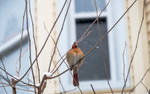Snowflakes Falling On My Head, Female Cardinal 9