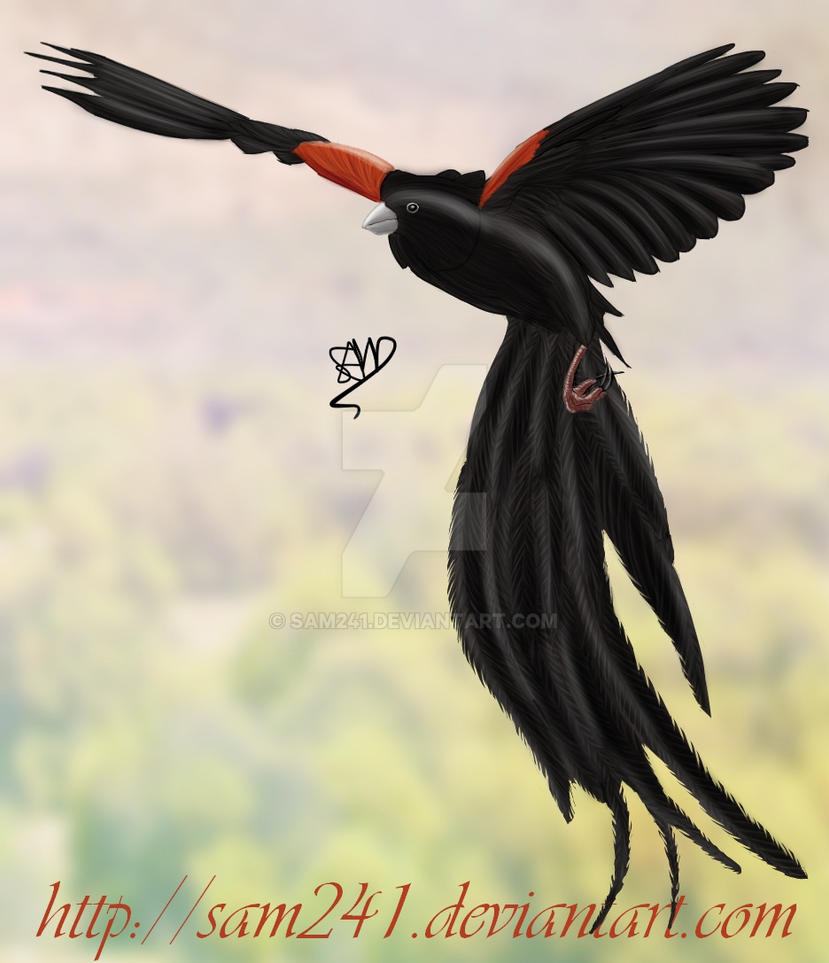 Long-tailed Widowbird by sam241