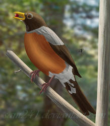 American Robin by sam241