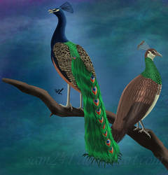 Peacock and Peahen by sam241