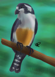 Black thighed falconet