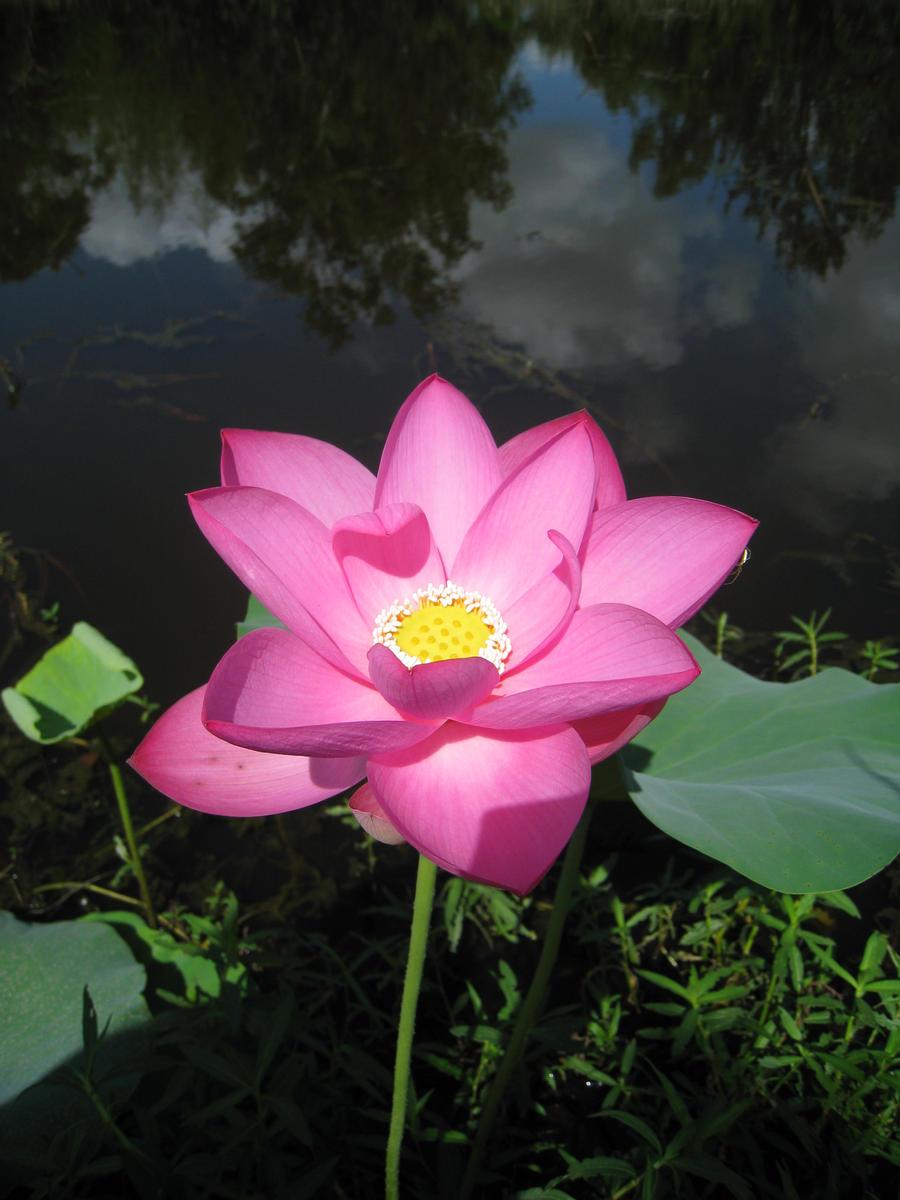 Open lotus flower savingourboysfo lotus flower open by fierfaerie on deviantart beautiful flower izmirmasajfo