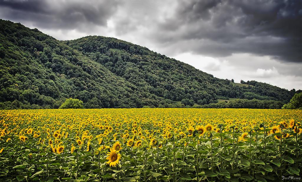 Sunflowers by JoelRemy222