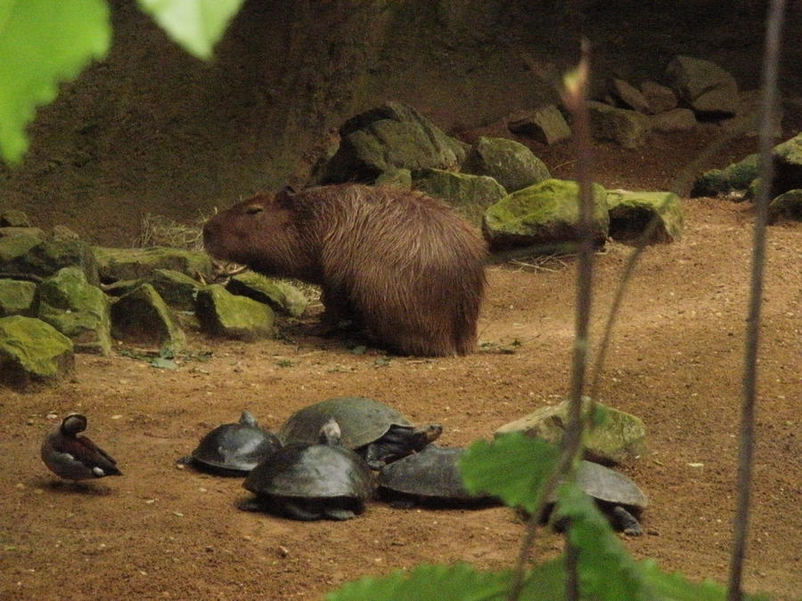The Elusive Capybara by goldenfeathers