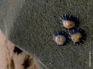 One two three limpets