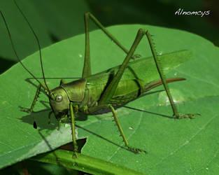 Great Green Bush Cricket by Alnomcys