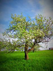 Farm Apple Tree by mcorvec
