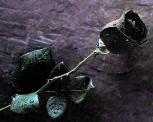 my black rose.. by alexxxbran