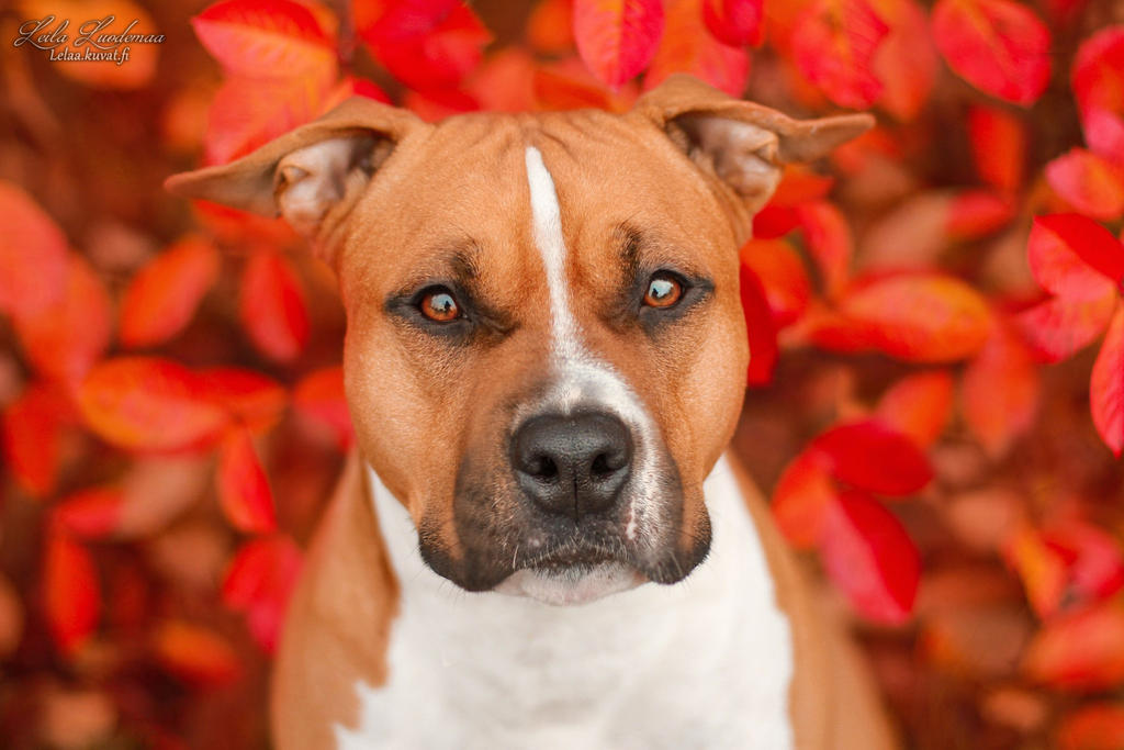 red amstaff by Le-laa