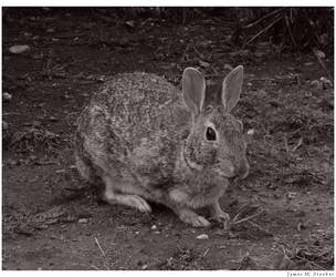 Hare by steeber