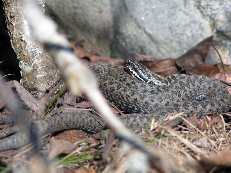 Basking V. berus, Common adder.