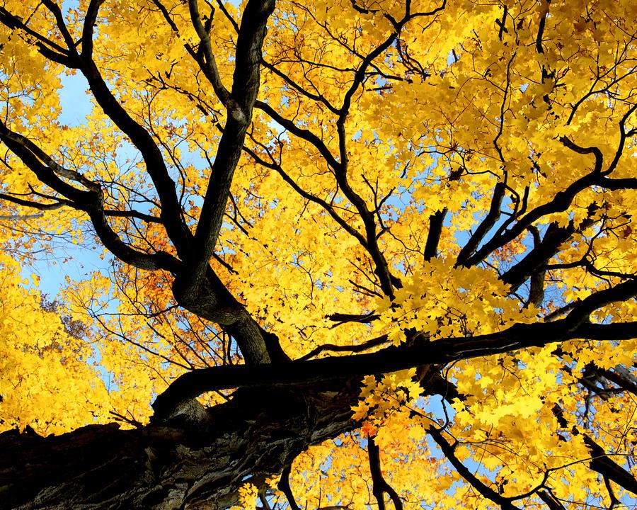 Big Yellow Tree by Candzz