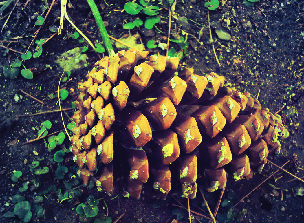 Pine Cones 2 by Humble-Novice