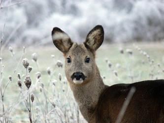 Deer by bojtarmarci
