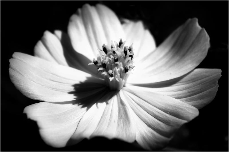 black and white flower by GoGoGodzirra on DeviantArt