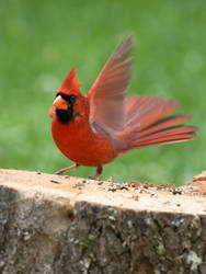 Male Cardinal Landing by GoGoGodzirra
