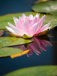 Beautiful Water Lily by GoGoGodzirra