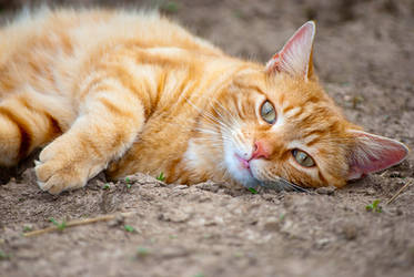 Orange Cat Chillaxing by GoGoGodzirra