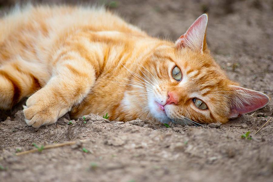 http://fc00.deviantart.net/fs70/i/2010/103/d/e/Orange_Cat_Chillaxing_by_GoGoGodzirra.jpg