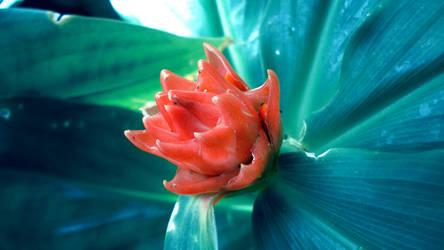 Bud of Ruby by viridis-somnio