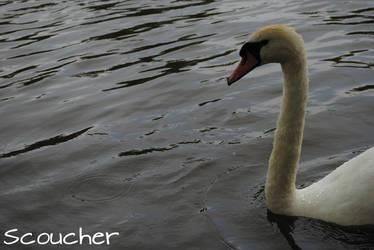 Swanning by Scoucher