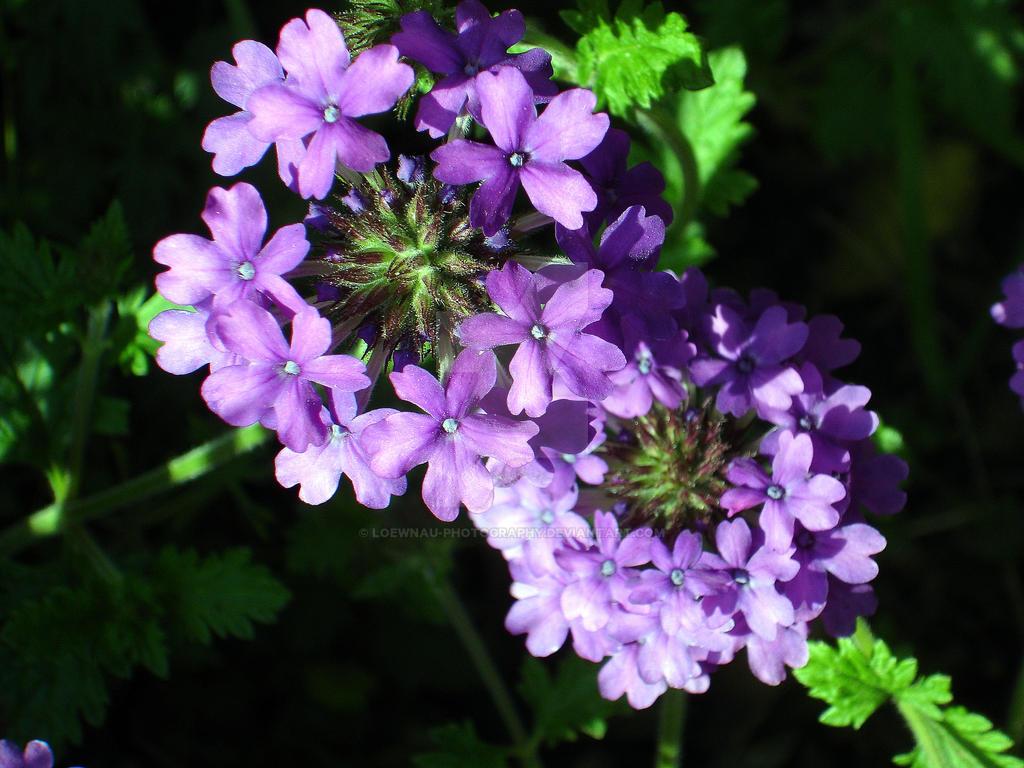 Small Purple Flowers By Loewnau Photography On Deviantart