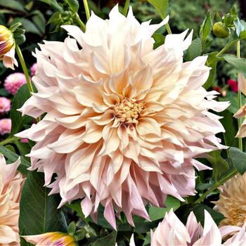 Cream Colored Dahlia