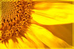 Sunflowers are ppppreeetteeeh by nallet