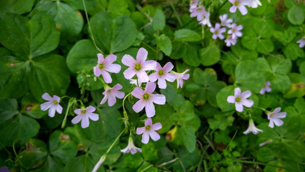 The Clovers In Bloom