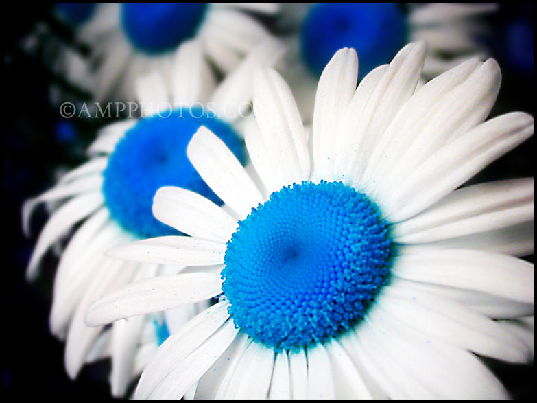 Blue Daisy by mrsselfdestruct