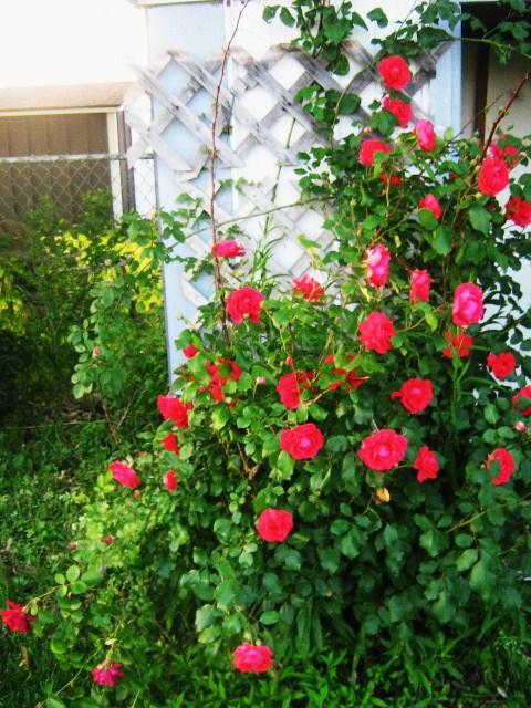 Rose Bush by FancyJuiceBox