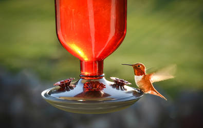 Hummingbird a flutter by ShannonCPhotography